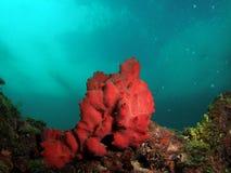 красный цвет коралла Стоковое Изображение RF