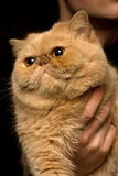 красный цвет кота перский Стоковая Фотография RF