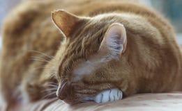 красный цвет кота Стоковые Изображения