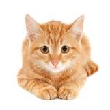 красный цвет кота Стоковое Фото