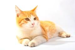 красный цвет кота Стоковая Фотография