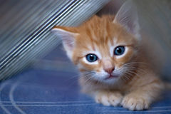 красный цвет котенка проползать Стоковая Фотография RF