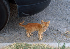красный цвет котенка Стоковые Изображения