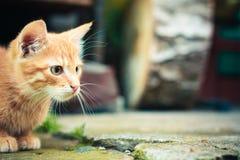 красный цвет котенка Стоковое Изображение RF