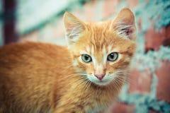 красный цвет котенка Стоковые Фотографии RF