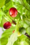 красный цвет кофе фасолей Стоковое фото RF