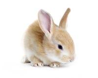 красный цвет кролика Стоковые Фотографии RF