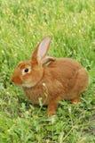 красный цвет кролика Стоковые Изображения