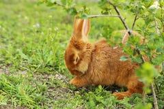 красный цвет кролика Стоковая Фотография
