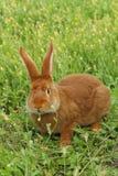 красный цвет кролика Стоковые Фото