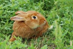 красный цвет кролика Стоковое Изображение RF