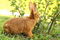 красный цвет кролика Стоковая Фотография RF