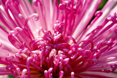 красный цвет крупного плана хризантемы Стоковые Изображения RF
