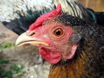 красный цвет курицы Стоковая Фотография RF