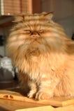 красный цвет кухни кота Стоковые Фотографии RF
