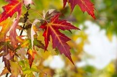 красный цвет клена листьев осени Стоковые Изображения RF
