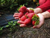 Красный цвет клубники в руке девушки Стоковая Фотография RF