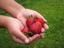 Красный цвет клубники в руке девушки Стоковое фото RF
