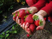 Красный цвет клубники в руке девушки Стоковые Изображения