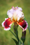 красный цвет лаванды радужки Стоковое Изображение RF