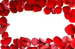 красный цвет лепестков поднял Стоковая Фотография
