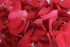 красный цвет лепестков поднял Стоковая Фотография RF