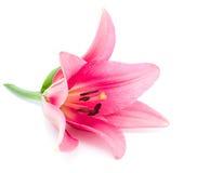 красный цвет лилии Стоковое Изображение RF