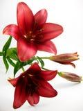 красный цвет лилии Стоковые Изображения