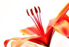красный цвет лилии Стоковые Изображения RF
