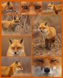 красный цвет лисицы коллажа Стоковая Фотография