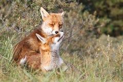 красный цвет лисицы новичка Стоковое фото RF