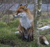 красный цвет лисицы Стоковое фото RF