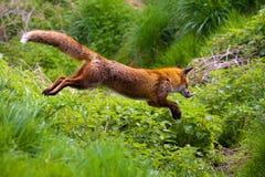 красный цвет лисицы Стоковое Фото