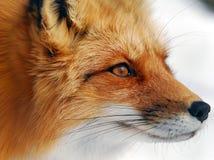 красный цвет лисицы Стоковое Изображение RF