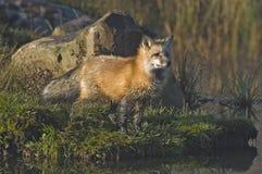 красный цвет лисицы Стоковое Изображение