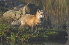 красный цвет лисицы Стоковая Фотография RF