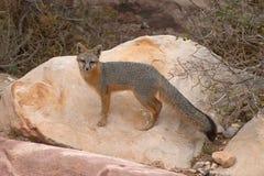 красный цвет лисицы Стоковые Изображения
