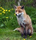 красный цвет лисицы Стоковые Фото