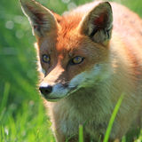 красный цвет лисицы Стоковая Фотография