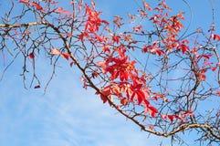 красный цвет листва Стоковое Изображение