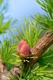 красный цвет лиственницы цветка Стоковое Изображение RF