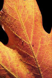 красный цвет листьев падений Стоковое фото RF