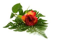 красный цвет листьев поднял Стоковое Изображение RF