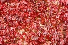 красный цвет листьев предпосылки Стоковые Фото