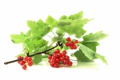 красный цвет листьев смородин Стоковое фото RF