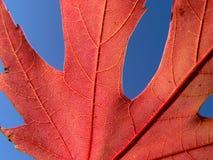 красный цвет листьев Стоковое Изображение