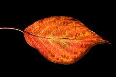 красный цвет листьев Стоковое Изображение RF