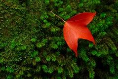 красный цвет листьев Стоковая Фотография