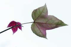 красный цвет листьев Стоковое Фото