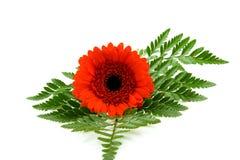 красный цвет листьев gerber Стоковое Фото